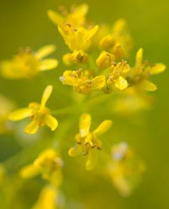 Färberwaid-Blüten