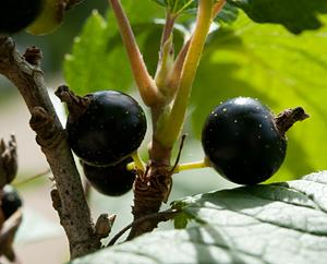 Schwarze Johannisbeeren (Ribes nigrum)
