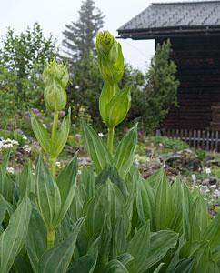 Gelber Enzian (Gentiana lutea)