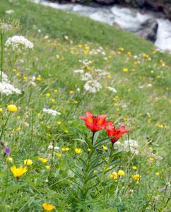 Keine Heilpflanzen, doch selten: Feuerblumen