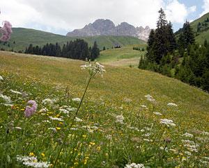Schweizer Alpenwiese