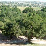 Arganienbäume (Argania spinosa) bei Essaouira