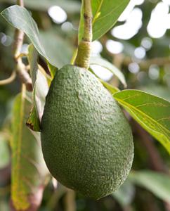 Avocadofrucht am Baum