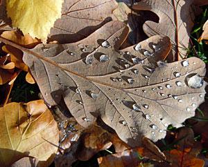 Eichenblätter. Die Eichenrinde hilft bei Hautentzündungen.