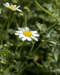 Botanische Unterschiede sind zur Kamille erkennbar