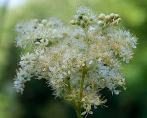 Mädesüß-Blüten