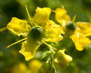Weinraute, einzelne Blüte