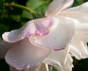 Tautropfen auf einer Rose im Rosengarten