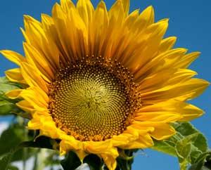 Sonnenblumen kommen ursprünglich aus Nordamerika