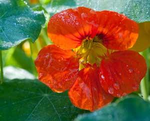 Kapuzinerkresse, sowohl die Blüten wie die Blätter sind essbar.