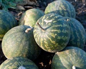 Ernte im Herbst: Koloquinthenfrüchte
