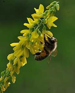 Nektarreiche Blüten für die Bienen
