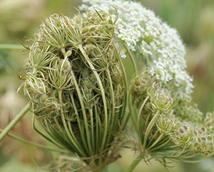 Wilde Möhre im Hintergrund die typische Blüte der Doldenblütler.