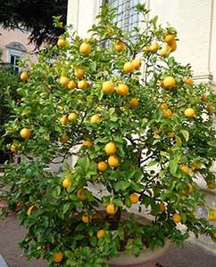Schön: Ein Apfelsinenbäumchen