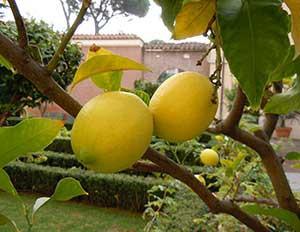 Zitronenbäumchen. Sie werden genau dann reif, wenn sie gebraucht werden.