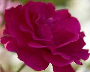 Eine Rose ist eine Rose ist eine Rose