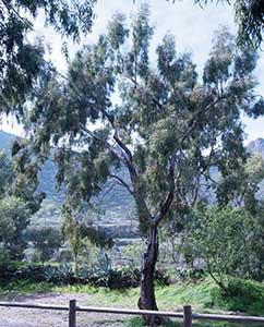 Eukalyptusbaum Teneriffa