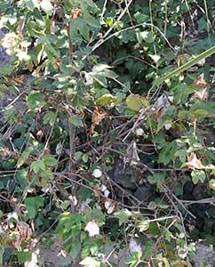 Baumwollstauden auf Teneriffa