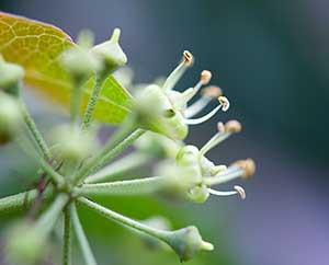 Efeu-Blüten: Nahaufnahme