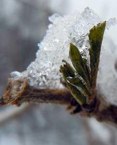 Holunderblätter im Eis