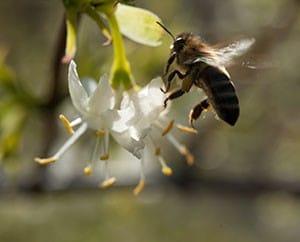 Die Duftende Heckenkirsche lockt Bienen an.
