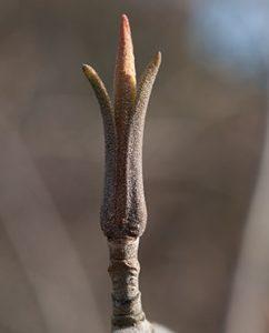 Geschlossene Blütenkapsel