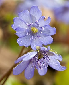 Leberblümchen sind geschützte Heilpflanzen