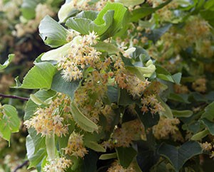 Eine Überfülle an Lindenblüten