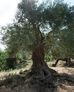 Jeder Olivenbaum hat eine eigene Persönlichkeit
