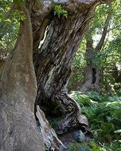 Geheimnisvolle, alte Platanenwälder