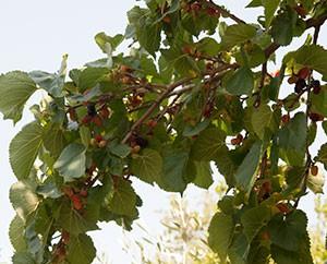 strauchartiger Maulbeerbaum