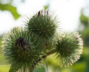 Häckchen-Früchte der Klette