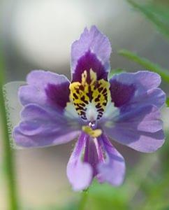 Wie eine Orchidee