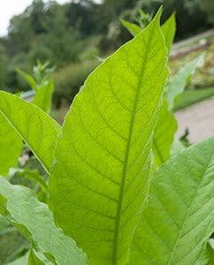 Tabakblatt im Sommer