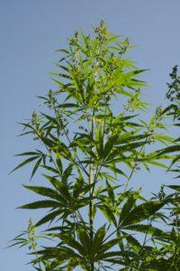 Hanf - Cannabis