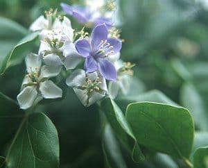 Guajakblüten