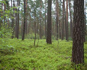 Heidelbeer-Paradies im Wald