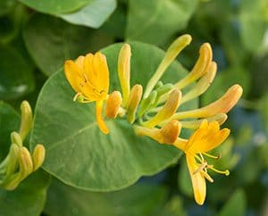 Geissblattblüte mit den typisch runden Blättern