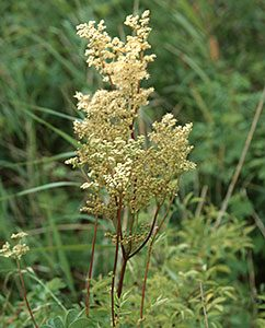 Unverkennbar: Mädesüß-Blüte