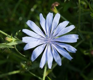 Wegwarten-Blüte