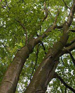 Pflanzenteere aus Buchenholz