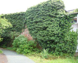 Mauer mit Efeu-Hecke