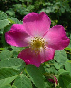 Wildrosen und Gartenrosen im Rosenhain