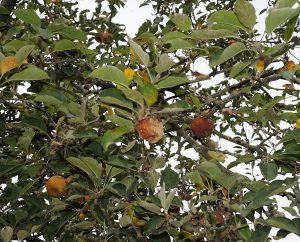 Äpfel haben Hitze und Trockenheit nicht gut vertragen