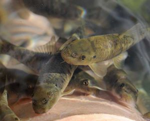 Kangalfische in natürlichem Thermalwasser