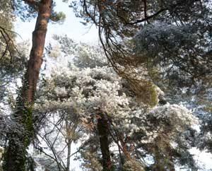 Kiefern im Schnee