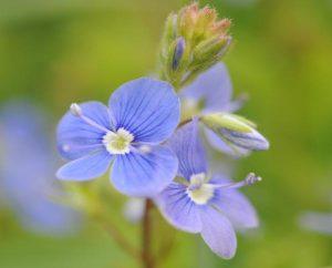 Ehrenpreis-Blüten