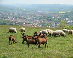Ziegen auf dem Frauenberg
