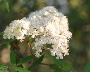Ebereschen-Blüten