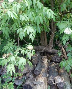 Totholz unter dem Holunderbusch